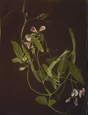 Lathyrus sylvestris, [Lathyrus sylvestris]