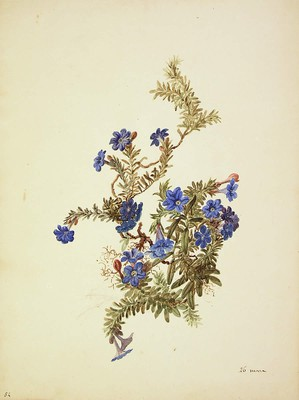 Lithodora diffusa, Lithodora diffusa