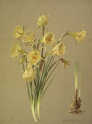Narcissus bulbocodium, Lilipa