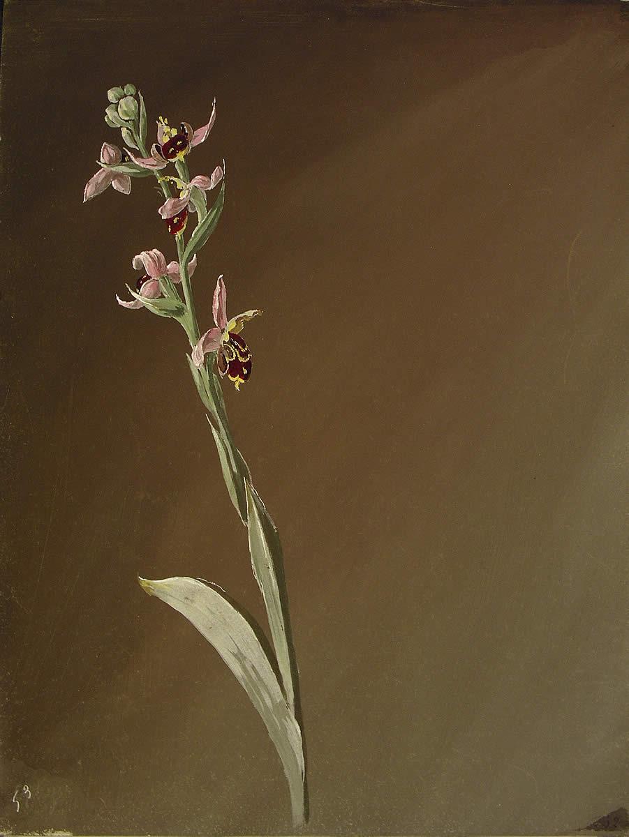 Ophrys scolopax, [Ophrys scolopax]