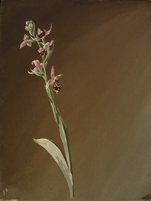 Ophrys scolopax, [Ophrys scolopax]