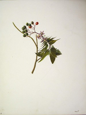 Solanum dulcamara, Azeri-mahatsa