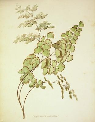 Adianthum capillus veneris, Iturri-belar arrunta