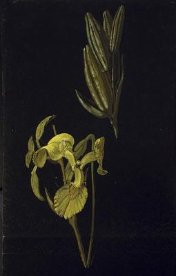 Iris pseudacorus, Lirio horia