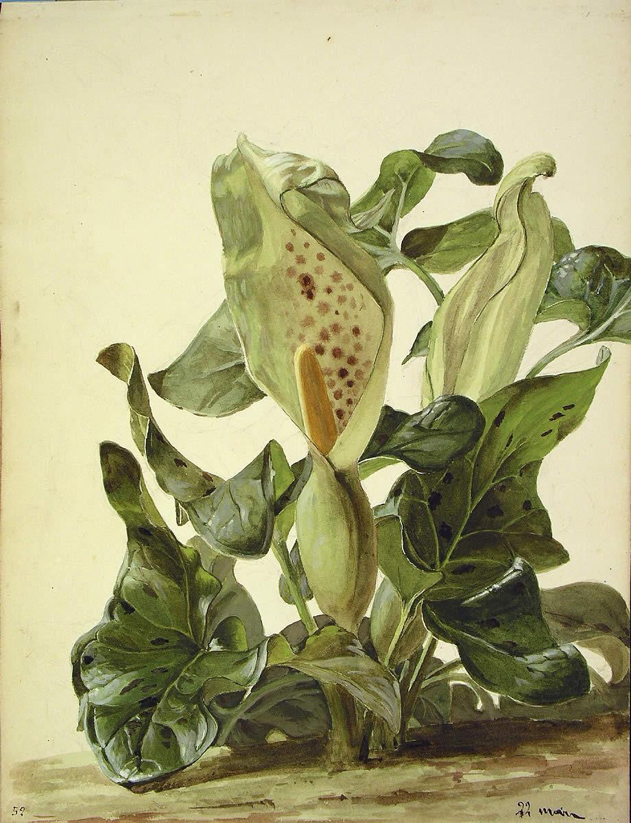 Arum maculatum, Sugebelarra