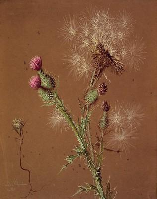 Carlina vulgaris , Kardua