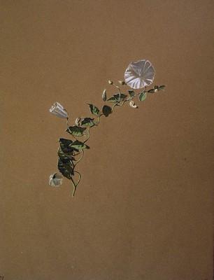Convolvulus arvensis, Ezkerte beltza