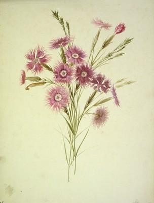 Dianthus hyssopifolius, Krabelina