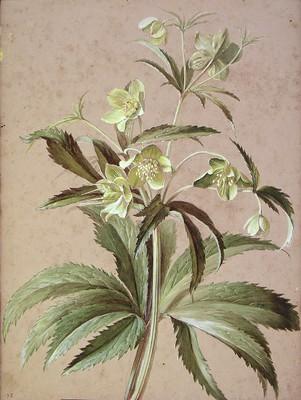 Helleborus viridis, Otsababa emea