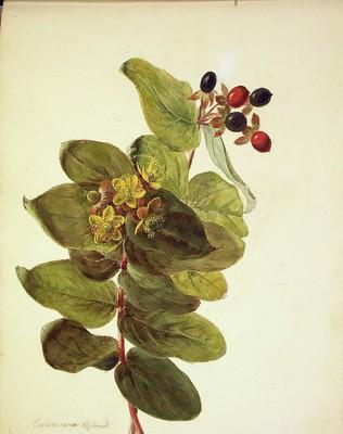Hypericum androsaemum, Orkatxa