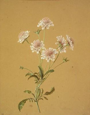 Knautia arvensis, Hatz belarra