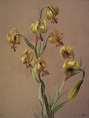 Lilium pyrenaicum, Zitoria horia
