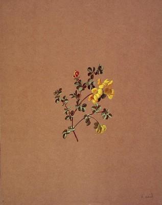 Lotus corniculatus, Mendiko usobelarra