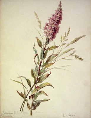 Lythrum salicaria, Egur-belarra