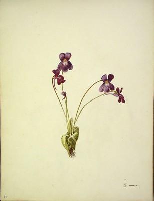 Pinguicula grandiflora, Muki-belarra