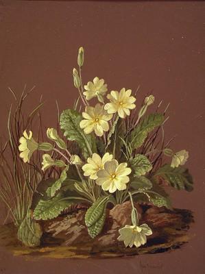 Primula vulgaris+Primula veris, San Jose lorea