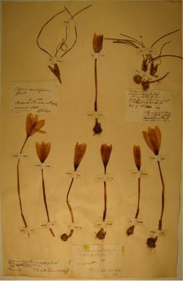 BU_13_Crocus nudiflorus